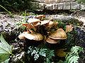 Uracher Wasserfall Pilze an der Treppenstufe.jpg
