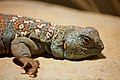 Uromastyx ocellata at the Denver Zoo-2012 03 12 0719.jpg