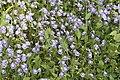 Utricularia sp 1090.jpg
