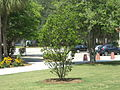 VSU Quad Tree 7.JPG
