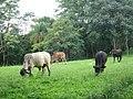 Vacas (3242204578).jpg