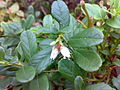 Vaccinium vitis-idaea 01.jpg