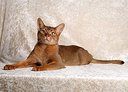 Photograph of a champion adult male Abyssinian cat, showing the classic ruddy coat pattern