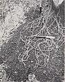 Vanilla culture in Puerto Rico (1948) (20560833992).jpg