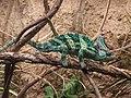 Veiled chameleon, Boston.jpg