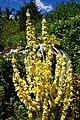 Verbascum mullein at Nuthurst, West Sussex, England.jpg