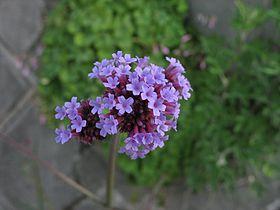 Verbena bonariensis3.jpg
