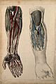 Vessels and muscles of the arm and hand; two figures showing Wellcome V0008158.jpg
