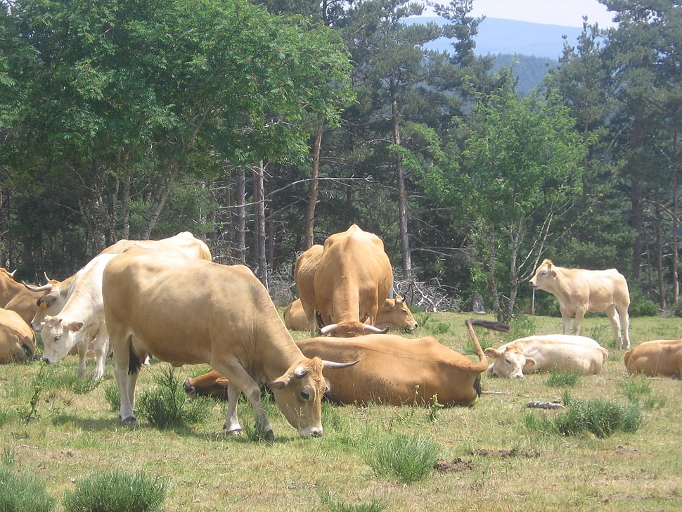 Via Podiensis, Aubrac, cows