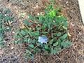 Viburnum plicatum f. tomentosum - J. C. Raulston Arboretum - DSC06265.JPG