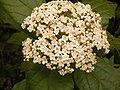 Viburnum rigidum (Breña Alta) 03 ies.jpg