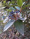 Viburnum titus.jpg