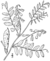 Vicia caroliniana drawing.png