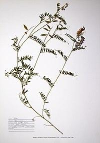 Vicia cracca BW-1988-0720-0375.jpg