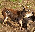 Visayan Spotted Deer (Rusa alfredi).jpg