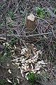 Von Biber gefällter Baum Rothenfluh.jpg