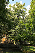 Vraný, lime tree.jpg