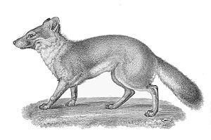 Island fox - Engraving of the Island Fox from the Pacific Railroad survey of 1855
