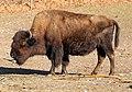 Waldbison Bison bison athabascae Tierpark Hellabrunn-17.jpg