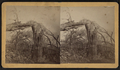 Wallingford tornado. (View of a downed tree.), from Robert N. Dennis collection of stereoscopic views.png