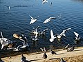 Wanstead Park Heronry Pond, gulls, geese, pigeons, Epping Forest, England 01.jpg
