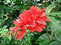 Warszewiczia coccinea2.jpg