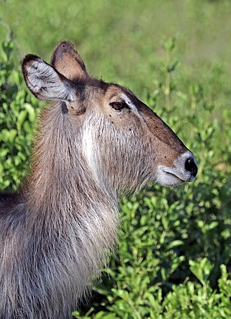 Waterbuck - Image: Waterbuck (Kobus ellipsiprymnus ellipsiprymnus) female head