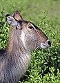 Waterbuck (Kobus ellipsiprymnus ellipsiprymnus) female head.jpg