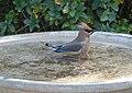 Waxwing Bathtime (16039320030).jpg