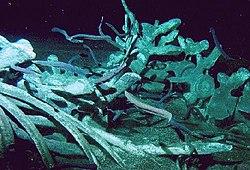 Carcasses de baleines dans BALEINE 250px-Whale_fall