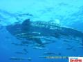 Whaleshark KohChang7.png