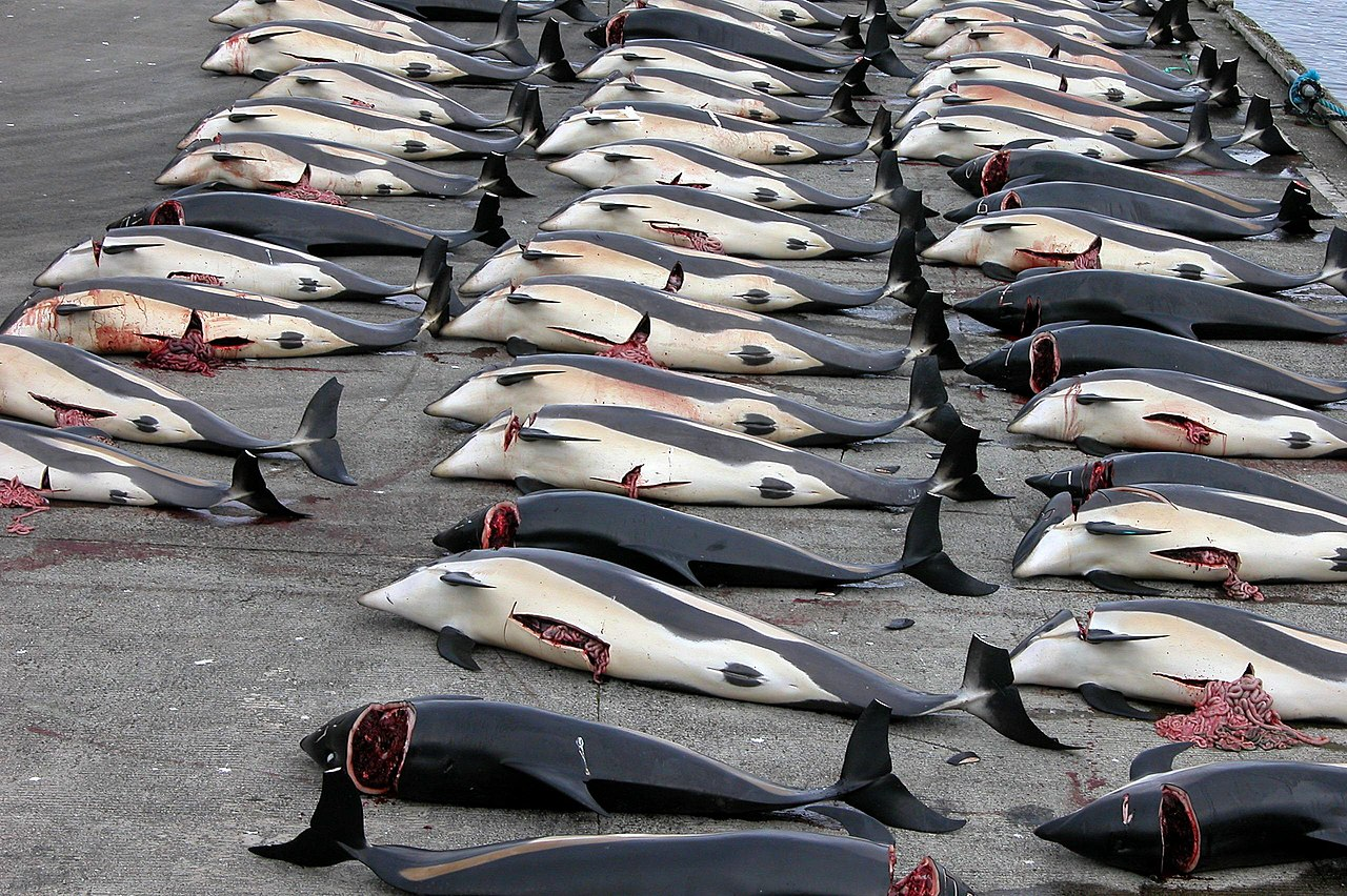 Whale Hunting In The Faroe Islands: Tradition Or Slaughter?