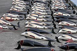 Dead Atlantic White-Sided Dolphins in Hvalba on the Faroe Islands, killed in a drive hunt.