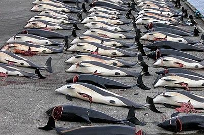 Image result for qrenlandiyada balina ovu