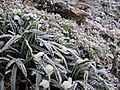 Where were the snowdrops? Frost in Studley Royal Park - geograph.org.uk - 713704.jpg