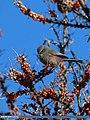White-browed Tit Warbler (Leptopoecile sophiae) (26046074705).jpg
