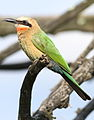 White-fronted Bee-eater, Merops bullockoides, at Rietvlei Nature Reserve, Gauteng, South Africa (16050167702).jpg