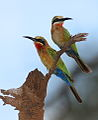 White-fronted Bee-eater, Merops bullockoides - experiments with light and shadow (13985489855).jpg