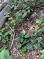 White-vein Wintergreen (15218112211).jpg