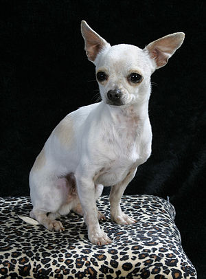 Full Grown Deer Head Chihuahua Images & Pictures - Becuo