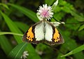 White Orange Tip Ixias marianne female by Dr. Raju Kasambe DSCN8505 (5).jpg