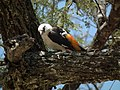 White headed buffalo weaver Dinemellia dinemelli in Tanzania 2903 Nevit.jpg