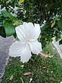 White hibiscus flower.jpg