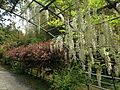 White wisteria on Wisteria Tunnel in Kawachi Wisteria Garden 20150509-1.JPG