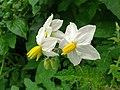 Wild Brinjal Flower.jpg