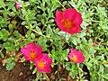 Wingpod purslane (Portulaca umbraticola) flowers.jpg