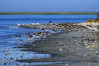 Wolf Island National Wildlife Refuge - American oystercatchers at Wolf Island National Wildlife Refuge, February 2014