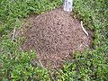 Wood Ant Nest 1.jpg