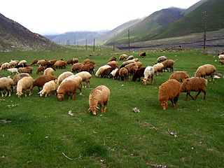 Sheep farming in Azerbaijan