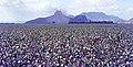 Yılankalesi 09 1972 Baumwollfelder der Çukurova.jpg